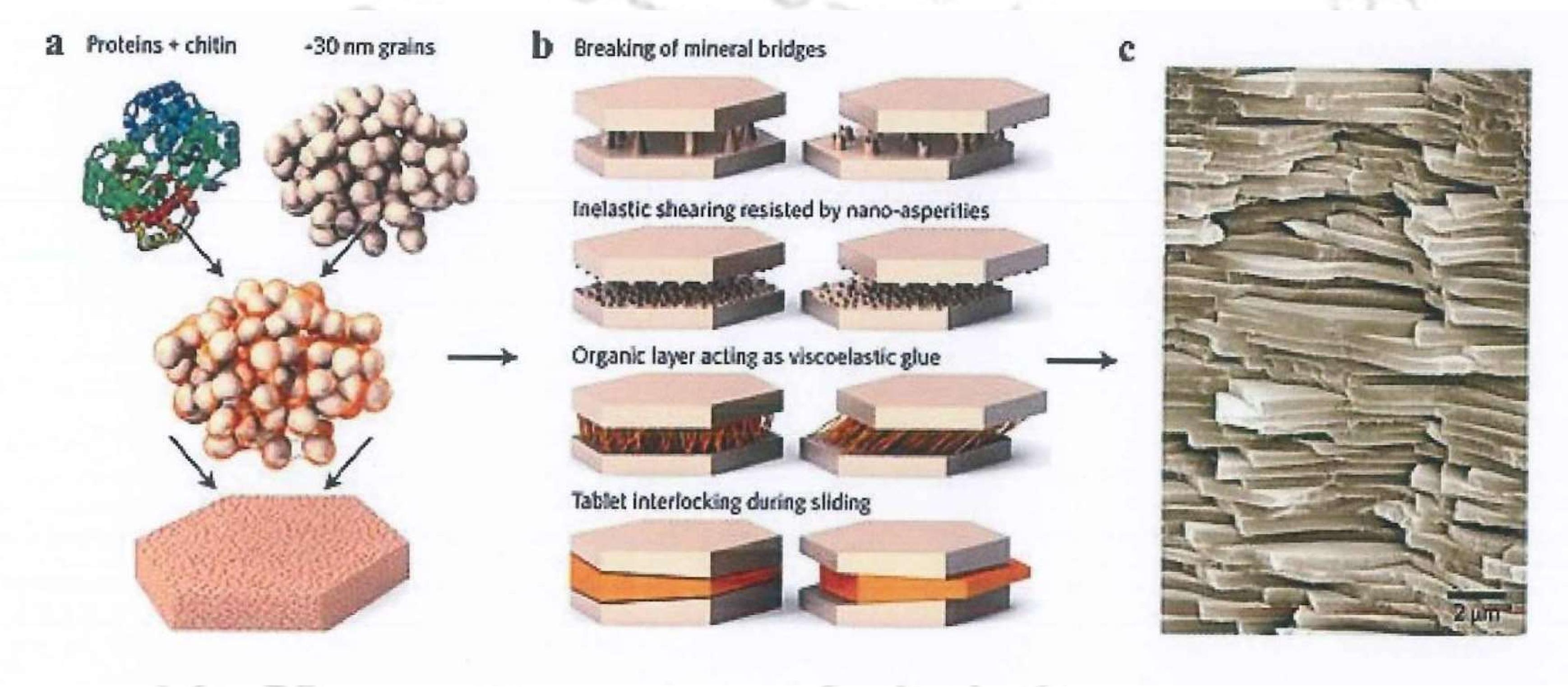 El cemento biomimetico